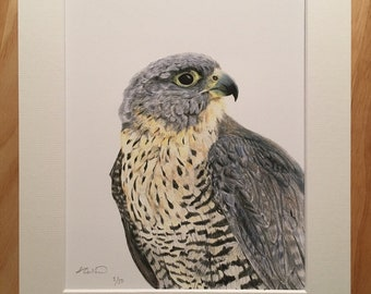 Peregrine Falcon Limited Edition Giclée Print - Wildlife Illustration