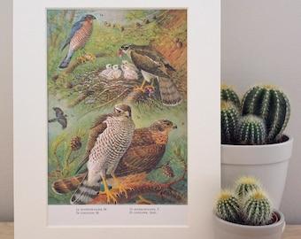 Original Vintage Sparrowhawk & Goshawk Birds Framed Print Office Home Decor Picture Brown Hawk British UK Bird of Prey Wildlife Nature Art