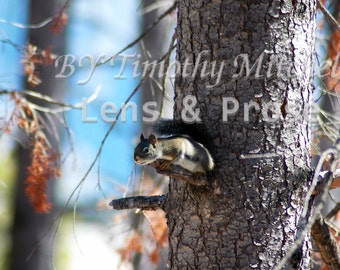 Digital download squirrel ready to leap by Timothy Mitchell Wildlife photography