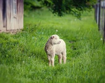 lamb photography, farm decor, rustic wall art, baby animal, nursery fine art, farm animal photography, green decor, baby sheep, Lamb II
