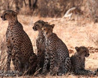 "8x10"" Photo/Print - Cheetahs in the Samburu National Reserve, Kenya"