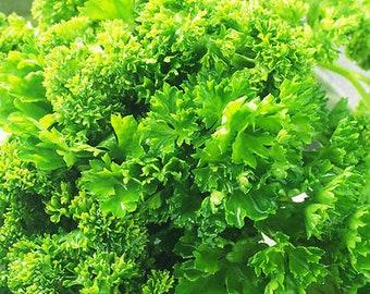 30 Parsley Seeds Petroselinum Sativum Parsley Petroselinum Herb Organic TG1