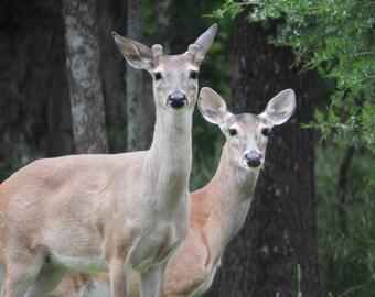 Deer Greeting Card Wildlife Blank