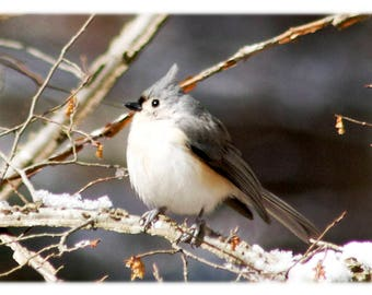 Tufted Titmouse - Wild Bird Photography - Nature, Wildlife, North Carolina Home Decor Fine Art Print or Note Cards