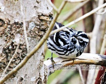 Black and White Warbler | Passerine | Avian | Ornithology | Gray Pink Tree Trunk | Birder | FeatherWindStudio Nature Photos | Songbird Print