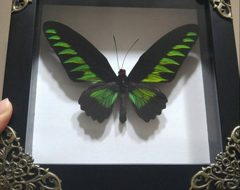 Real Framed Butterfly- Ornithoptera Trogonoptera Brookiana Albescens Male Rajah Brooke's Birdwing- home decor, birthday gift, father's day