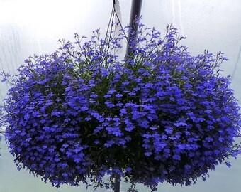 100 Variety Trailing Lobelia (SAPPHIRE TRAILING) blue flower