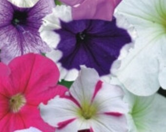 10 Original Packs 120 seeds  pack Mix colors Petunia Splendid for  hanging baskets and containers  garden flowers