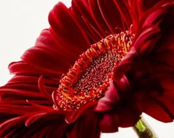 ADGR) REVOLUTION DEEP Red Gerbera Daisy~Seed!!~~~~~Marvelous Flower Faces!