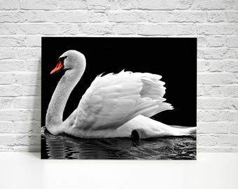 Free Shipping, White Swan Wall Print