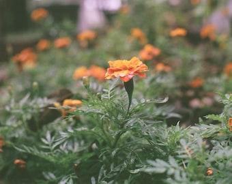 Marigold Flower Mix