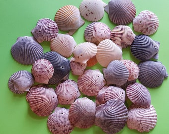 80 Small Scallop shell craft  Nautical Decor Seashells beach decor colorful shells bulk shells drilled terrarium supply Wind chime Projects