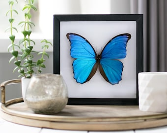 Real framed morpho menelaus // blue butterfly
