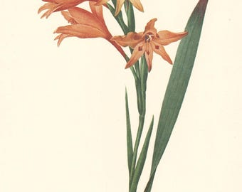 botanical art print by Pierre Redoute, Gladiolus cuspidatus, printable digital download no. 727
