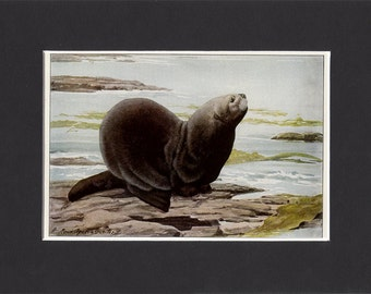 Sea Otter 1916 Print by Louis Agassiz Fuertes Vintage Mounted Bookplate Picture with Mat Seaotter Print Sea Otter Picture Otter Artwork