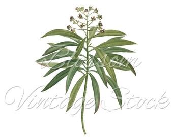 Botanical Print, Plnat Illustration, Antique Botanical Illustration, PNG Image - Digital Antique Illustration  INSTANT DOWNLOAD - 2170