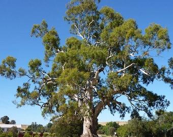 100 Red Gum Tree Seeds, Eucalyptus Camaldulensis