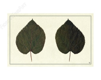Ancient herbarium/Mourier d'espagne/FINE ART PRINT/Flowering Editions