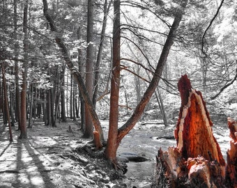 Red Woods Photo, selective color HDR photograph, red, black and white, fine photography prints, Red Woods