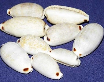 Cypraea quadrimaculata Four-Spotted Cowry Shell 18/26mm. ~ Specimen Collector Seashell ~ (Each) ~ We Do Not Offer International Shipping  ~