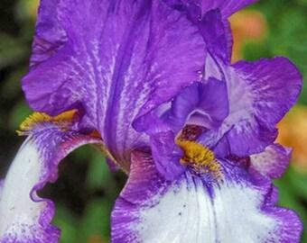 Iris, Flower Photography, Photographic Art, Photographic Print, Wall Art Print, Wall Decor, Iris Photograph