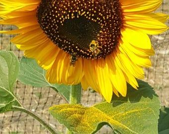 100 Mammoth Jumbo Sunflower Seeds