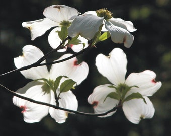 Eight inch White dogwood blossom panel