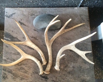 craft antlers Small. Rental is an option