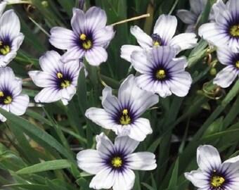 White Blue Eyed Grass Sisyrinchium / Perennial Flower Seeds