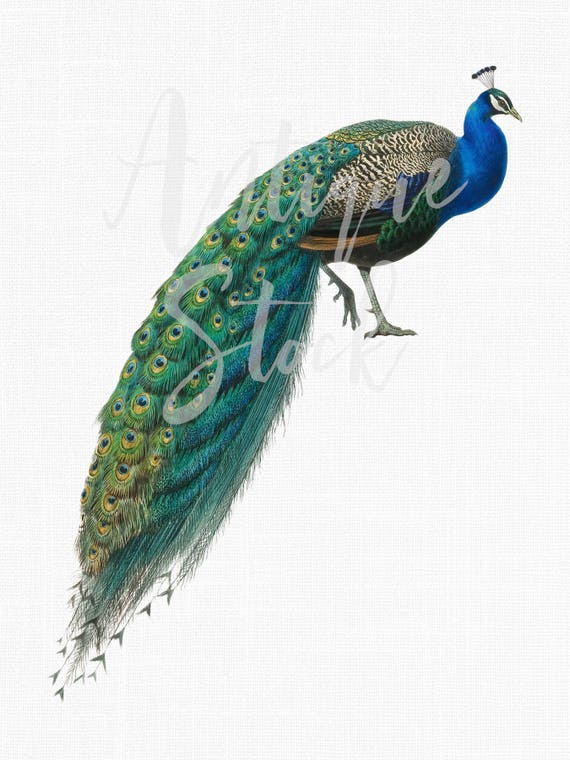 Bird Clip Art Vintage Peacock Image Indian Peafowl