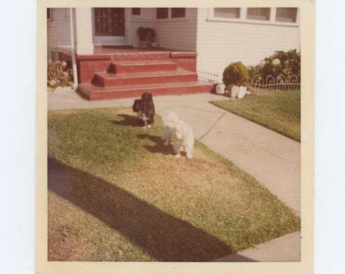 Vintage Snapshot Photo: Dogs in Front Yard, c1960s-70s (74564)