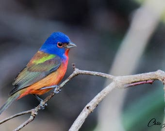 Bird Photo, Outdoor Wildlife, Painted Bunting Picture, Colorful Artwork, Wall Art