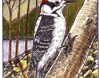 Downy Woodpecker - Handmade - Print by Will Kay Studios on Etsy