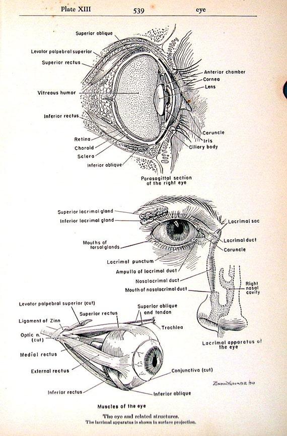 Medizinische Print Muskeln des Auges 1951 Vintage