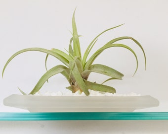 Tillandsia (Air Plant) in Glass Tray/Dish ~ Fathers day gift