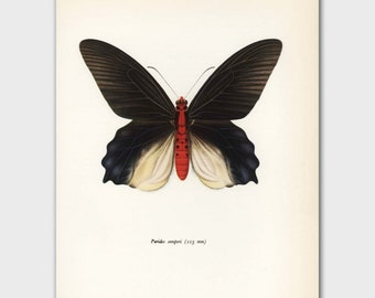 """Butterfly Wall Art (Black Butterfly, Scientific Illustration Gift) Vintage Butterfly Print --- """"Crimson Red Swallowtail"""" No. 68-1"""