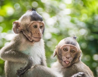 Canvas photo print - Cheeky Monkey, Cambodia, wildlife