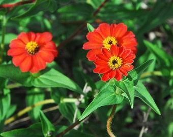 Peruvian Zinnia, Heirloom Zinnia Seeds, Cut Flower Garden, Market Gardens Grow Your Own