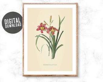 Vintage condition, minor Hemerocallis fulva, botanical, flower, instant download, ready to print, large prints, wall decoration, pink