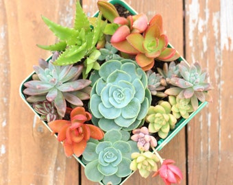 "Assorted Live Succulent Rosettes Plants - 2"" Succulent Plants Assorted Variety No Two Alike"
