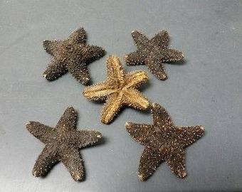 Black Wax  Starfish  (Small)  (EA)