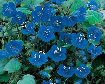 California Bluebell Flower Seeds/Phacelia Campanularia/Annual   100+