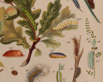 "Antique print.1903. Caterpillars of European Butterflies.100 years old print.Botany print.Butterflies print.10,9x8,2 "" Vintage poster."