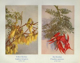 Vintage 1935 Botanical Print Antique KOWHAI yellow red Flowers plant print botanical print, bookplate art print plants plant wall