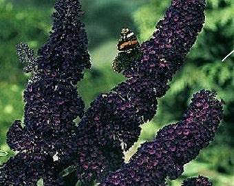 25+ Black Knight Buddleia Butterfly Bush / Perennial Flower Seeds