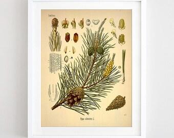 Pine Print Pine Art Antique Pine Botanical Print Printable Poster Pine Tree Illustration Chart Print Vintage Wall Art Decor Digital Download