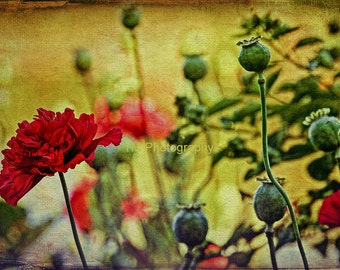 Poppy - Poppies - Red Poppy - Remembrance - Flower - Red Flower - Fine Art Photography