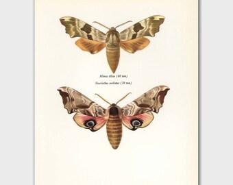 "Moth Art, Butterfly Decor (Camoflauge Loft Art, 1960s Scientific Illustration) Vintage Butterfly Print --- ""Lime Hawk Moth"" No. 124-2"