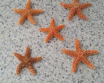 Sugar Starfish (Small)  (1 starfish)