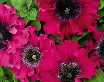Petunia Bordo F1 Flowers Seeds from Ukraine #1402